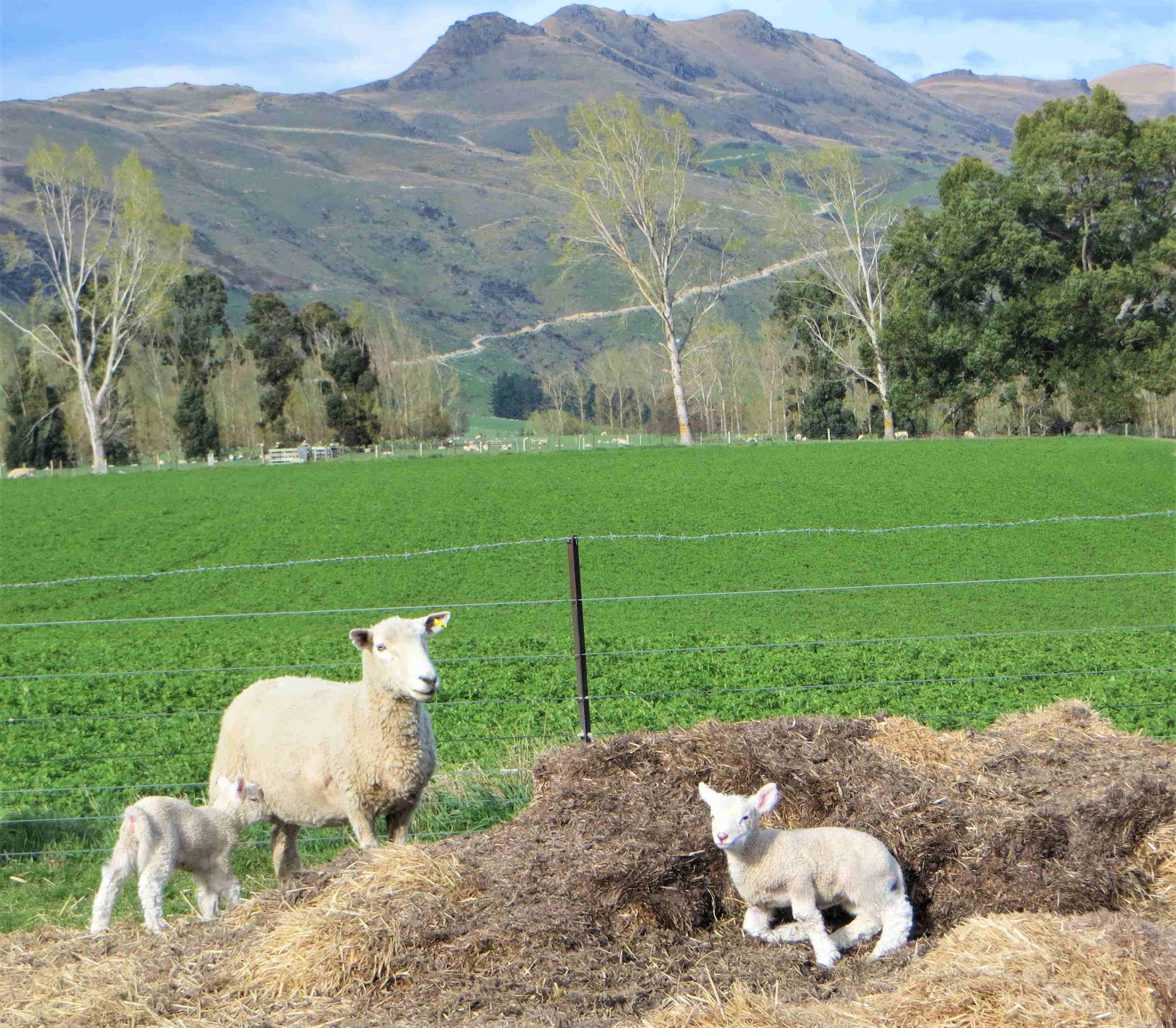 Ewe and lambs in front of the lucerne paddock, which is growing one of next winter's feed crop.