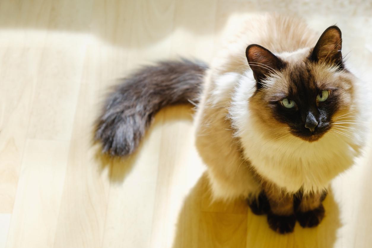 Balinese cat staring at the camera