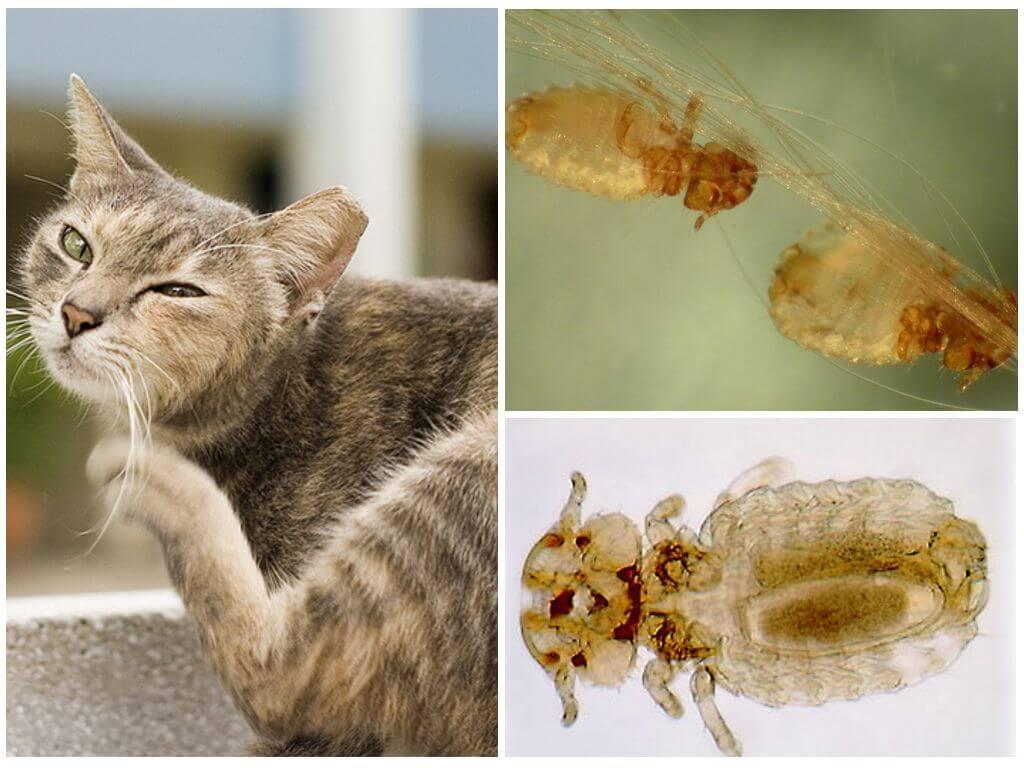 Підчепити воші у кішки дуже складно, адже у людини і кішки вони різні.