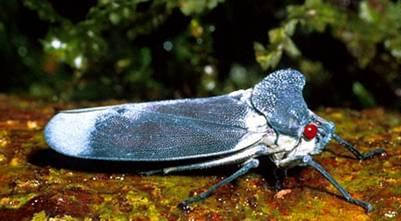 http://drkaae.com/InsectCivilization/assets/Chapter_13_Cicadas_Leafhopperss_and_Others_files/image003.jpg