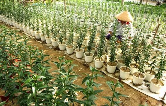 Kỹ thuật trồng và chăm sóc hoa Ly