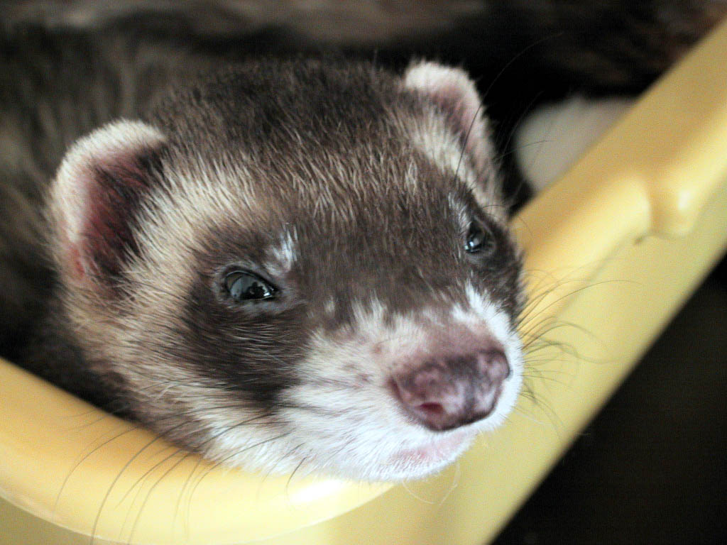 Typical ferret coloration