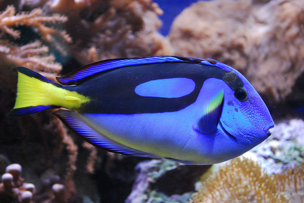Paracanthurus hepatus , Dory in real life