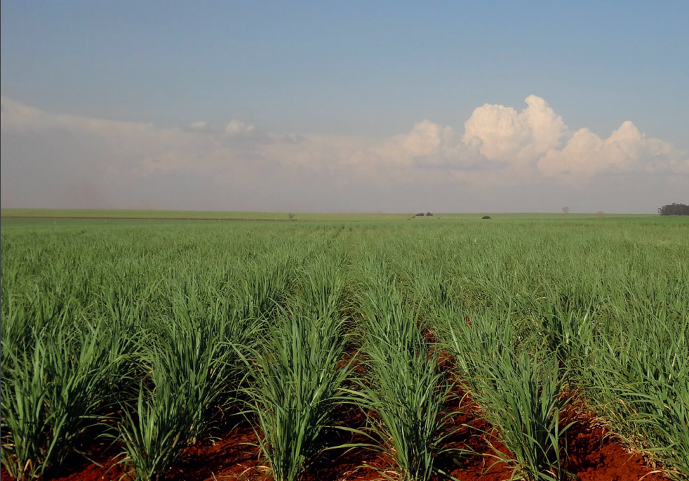 A cana-de-açúcar é plantada por meio de mudas (Fonte: Embrapa/Reprodução)