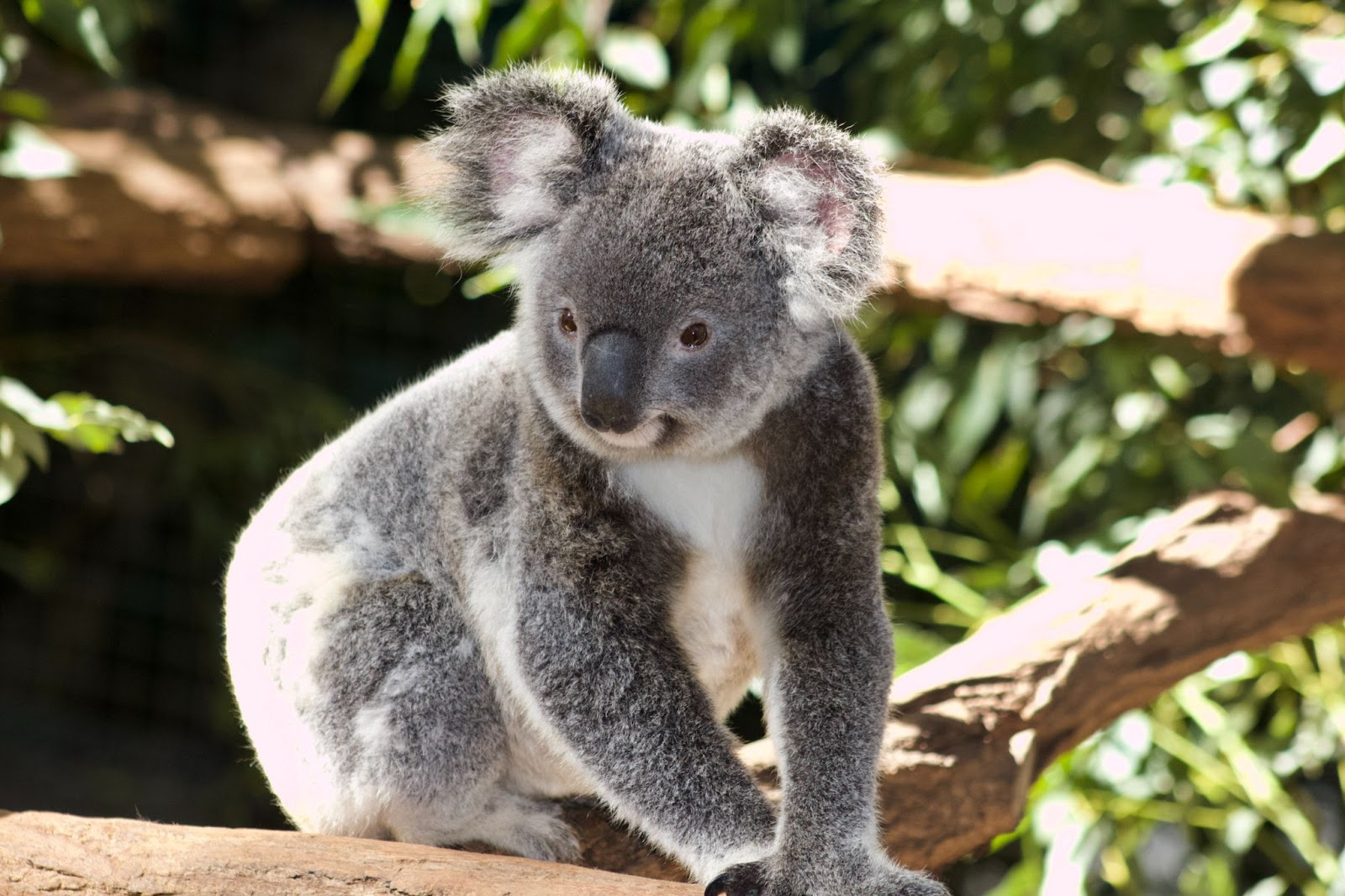 100 things to do in melbourne with kids koala healesville sanctuary