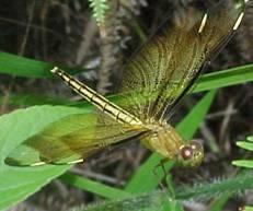 http://drkaae.com/InsectCivilization/assets/Chapter_8_Mayflies_Dragonflies_and_Stoneflies_files/image007.jpg