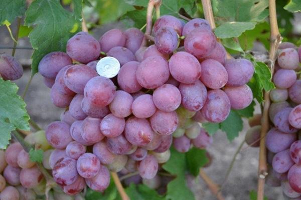 "Картинки по запросу ""сорт винограда граф монте кристо"""