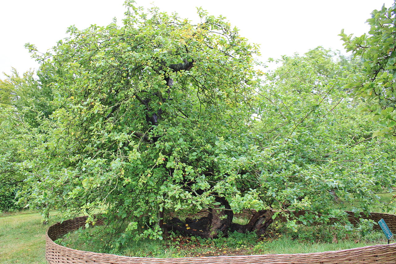 There are many debates over which tree is the tree, but the most popular candidates include the apple tree at Newton's birthplace, Woolsthorpe Manor (pictured above). It is a reported descendant of the original tree which can be seen growing outside the main gate of Trinity College, Cambridge, below the room Newton lived in when he studied there.