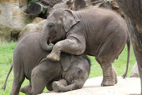 Mơ thấy hai con voi đánh nha