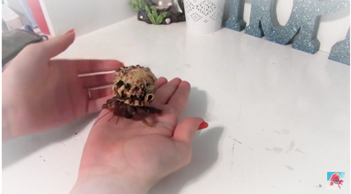 Person handling hermit crab