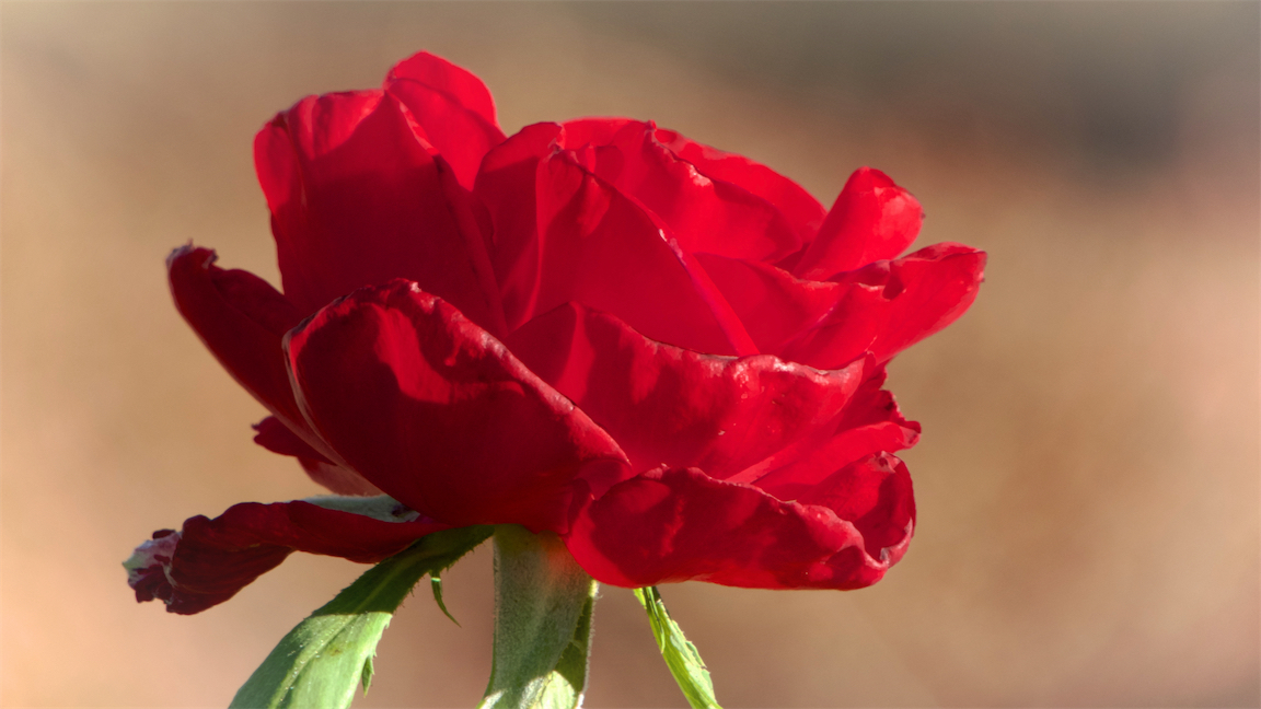 Happy Red Rose.jpg