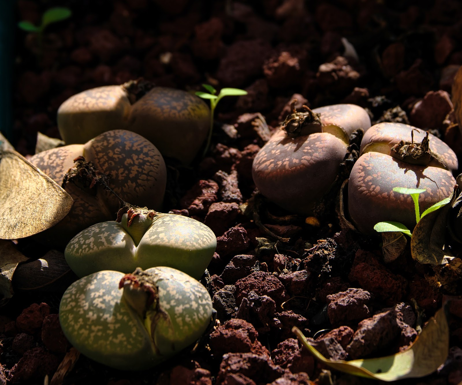 Living stones lithops