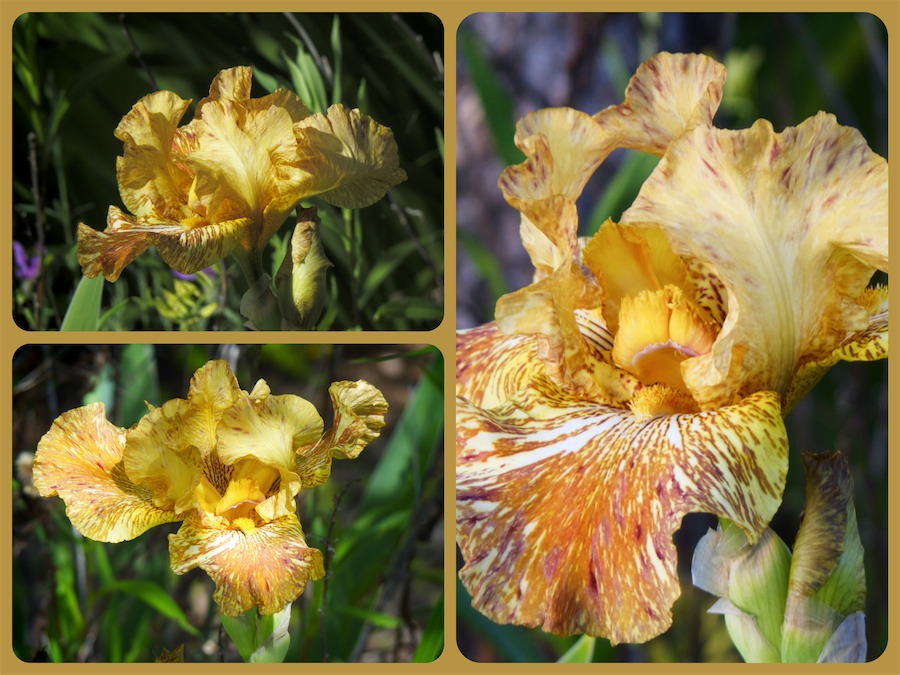 Gold Iris_Fotor_Collage.jpg