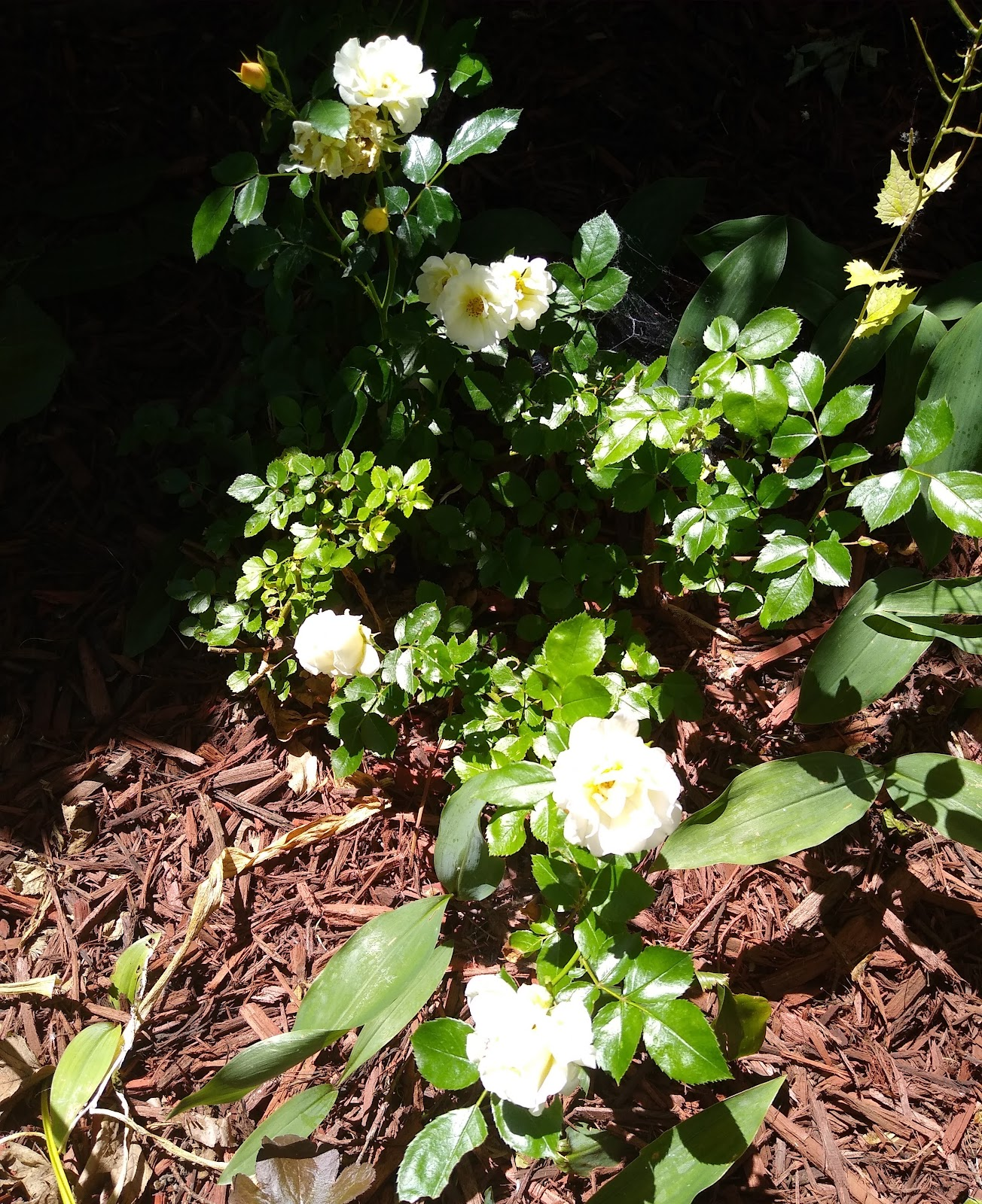 sun washed white roses