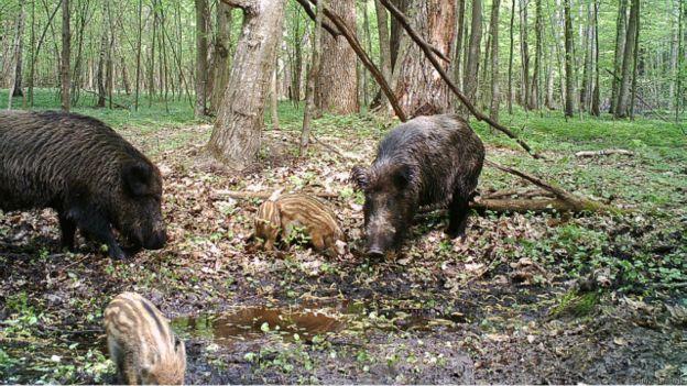 Кабани в Чорнобильській зоні