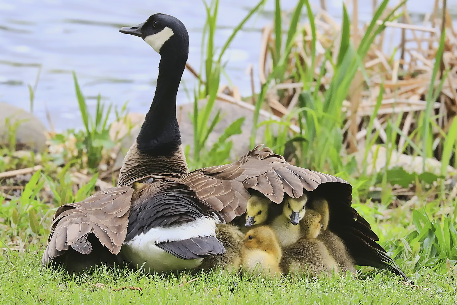 A Canada Goose shelters her goslings with one wing.