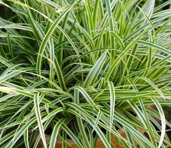 Carex morrowii 'Vanilla Ice'® - Laîche vanillée