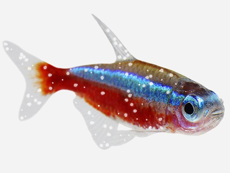How to treat White Spot in aquarium fish - Pond Aquarium Problem Solver