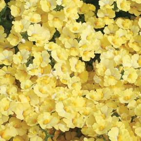 Image result for nemesia sunsatia lemon