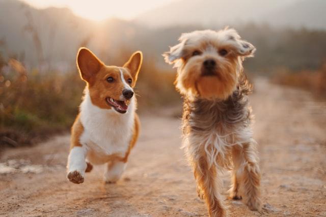 adopting an easy pet dog