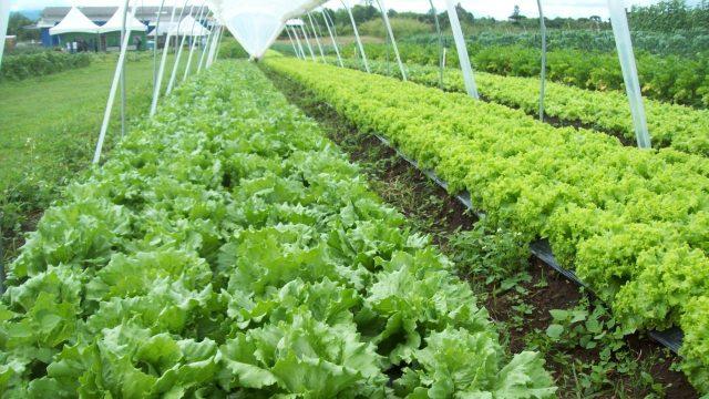 Alfaces orgânicas cultivadas com ajuda do biofertilizante desenvolvido no Setor de Ciências Agrárias da UFPR. Foto: Laboratório de Biofertilizantes/Divulgação
