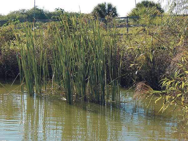 Reeds and water plants can be useful in water filtration