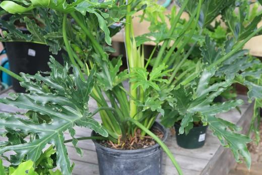 plantinha de filodendro