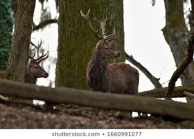 Deer Forest Amazing Nature Images, Stock Photos & Vectors ...