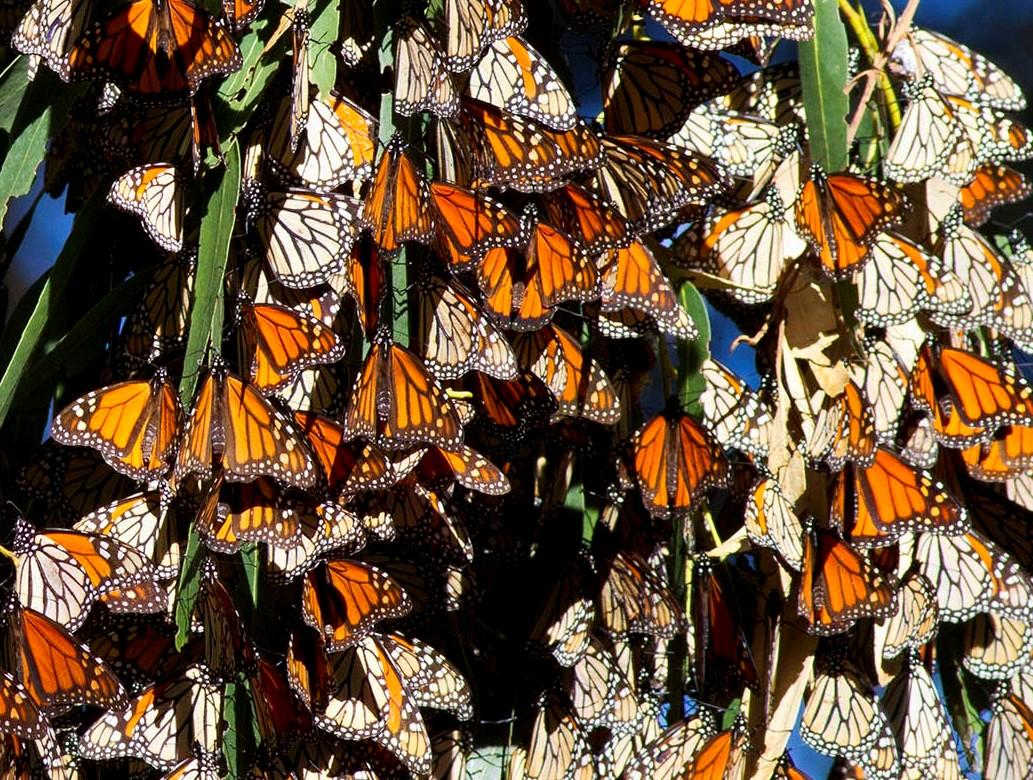 Image result for pismo beach monarch grove