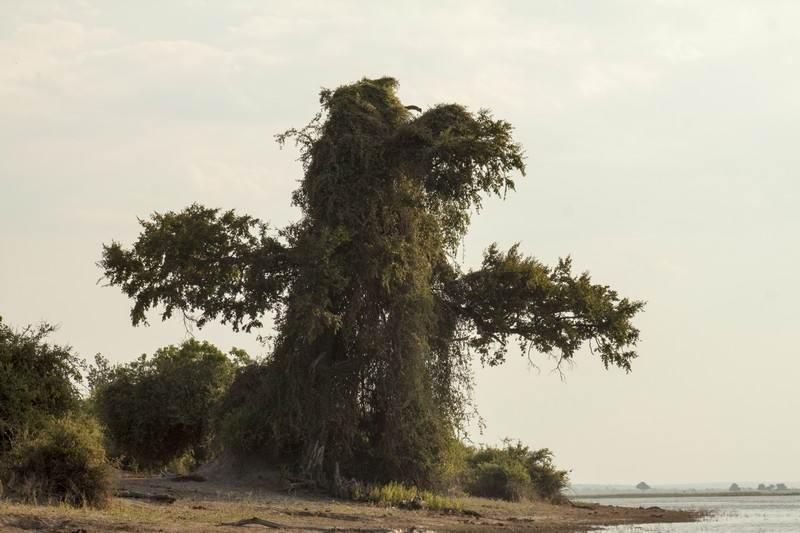 Chobe-bird-tree.jpg