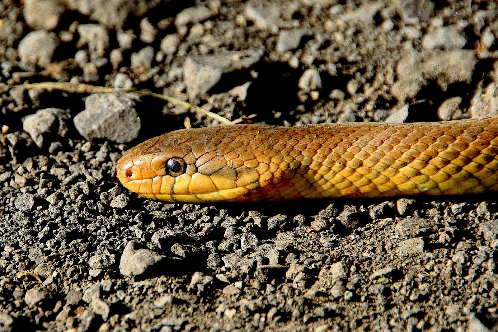 Snake on rocky ground