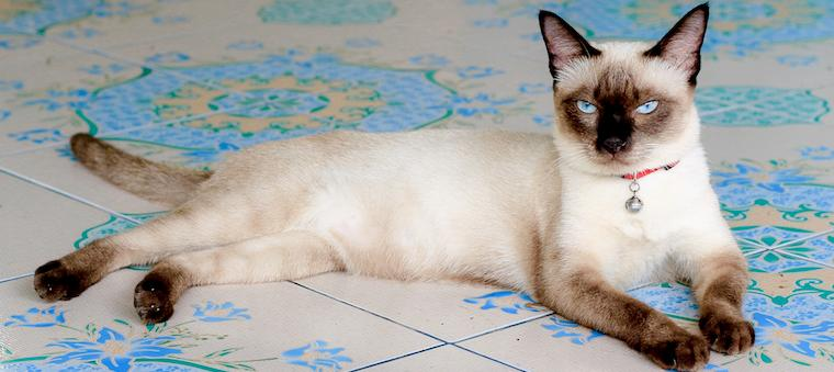 9 Facts About the Storied Siamese Cat | Litter-Robot Blog