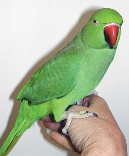 The hardy Indian ring-necked parakeet (Psittacula krameri) is a common pest bird in its native India