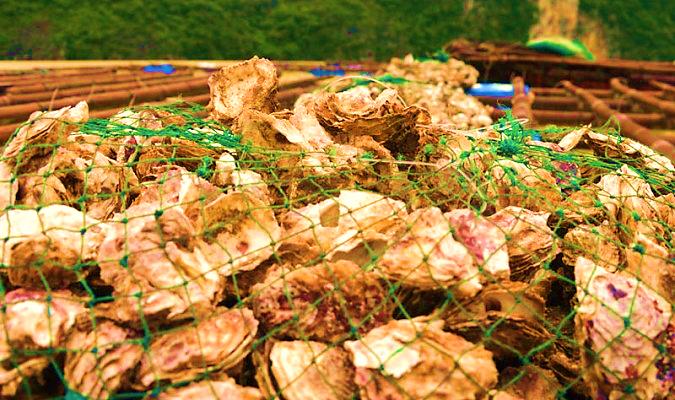 Hàu chết hàng loạt tại các hộ nuôi khiến người nông dân thiệt hại nặng nề. (Ảnh minh họa: danviet.vn)