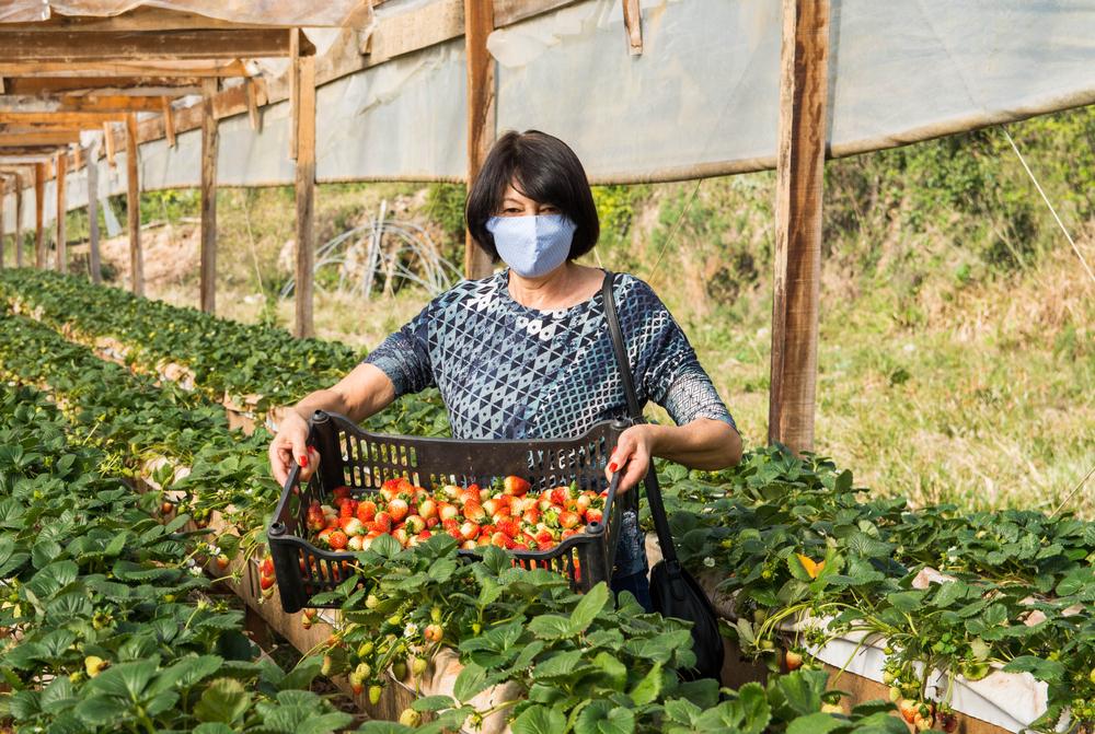 Senhora segurando caixa plástica com morangos entre as plantações