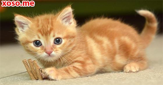 Giấc mơ mèo vàng và điềm báo không tốt