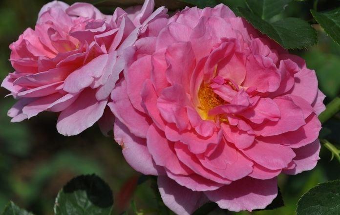 английская роза IMMORTAL JUNO