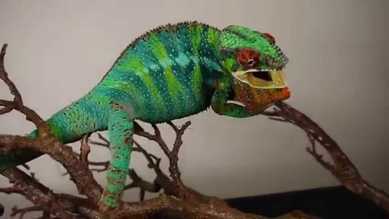 Image result for panther chameleon angry
