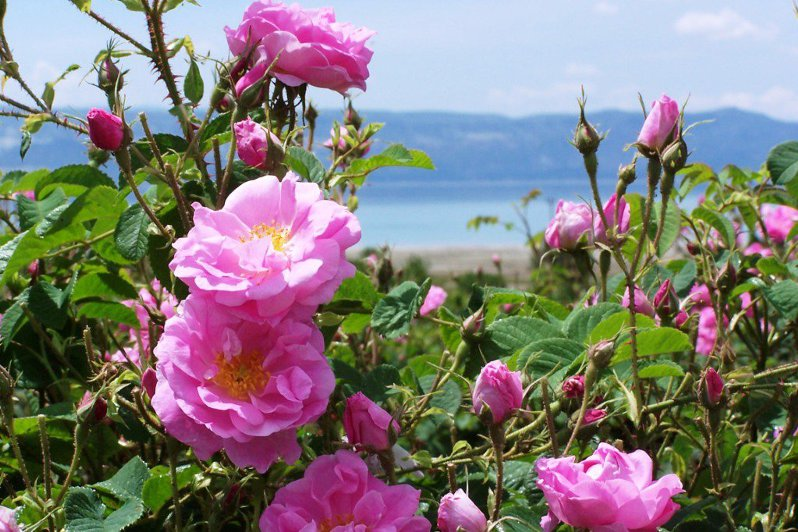 eau florale rose de damas bio Oden