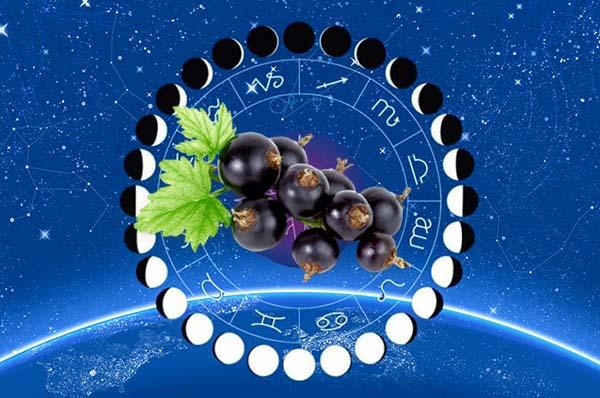 Сроки посадки смородины по лунному календарю