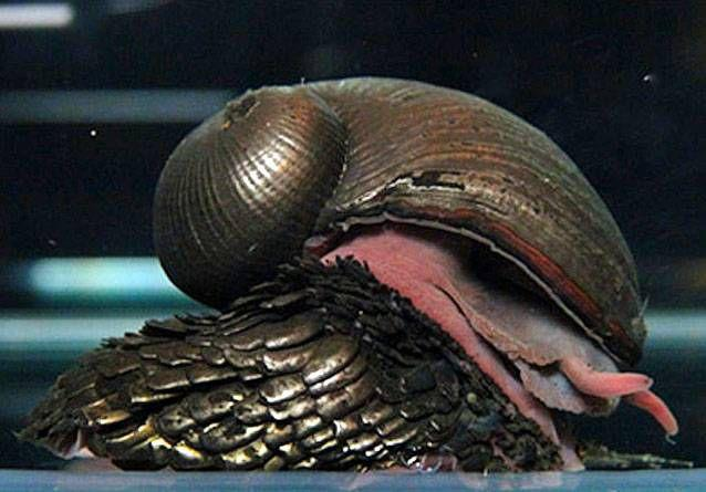 Scaly-foot gastropod | 12 of the most interesting snails in the ...