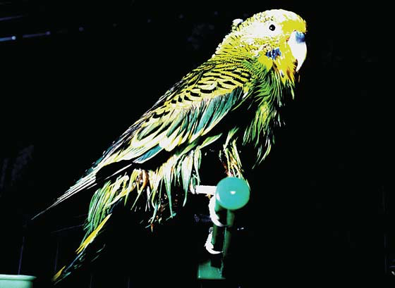 Budgerigar with oiled ventral body feathers