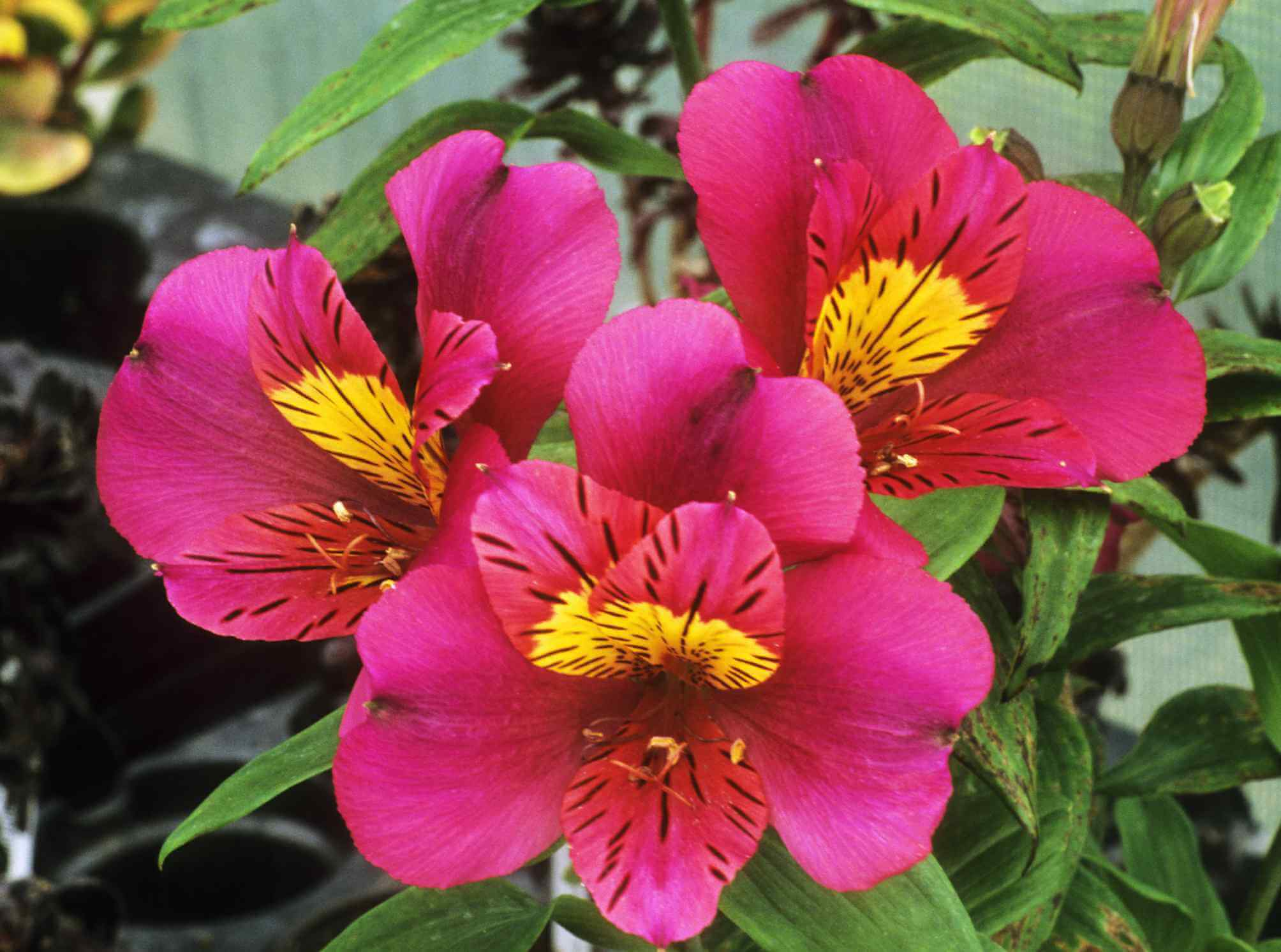 Peruvian Lily; 9 Breathtaking Flowers That Start With P