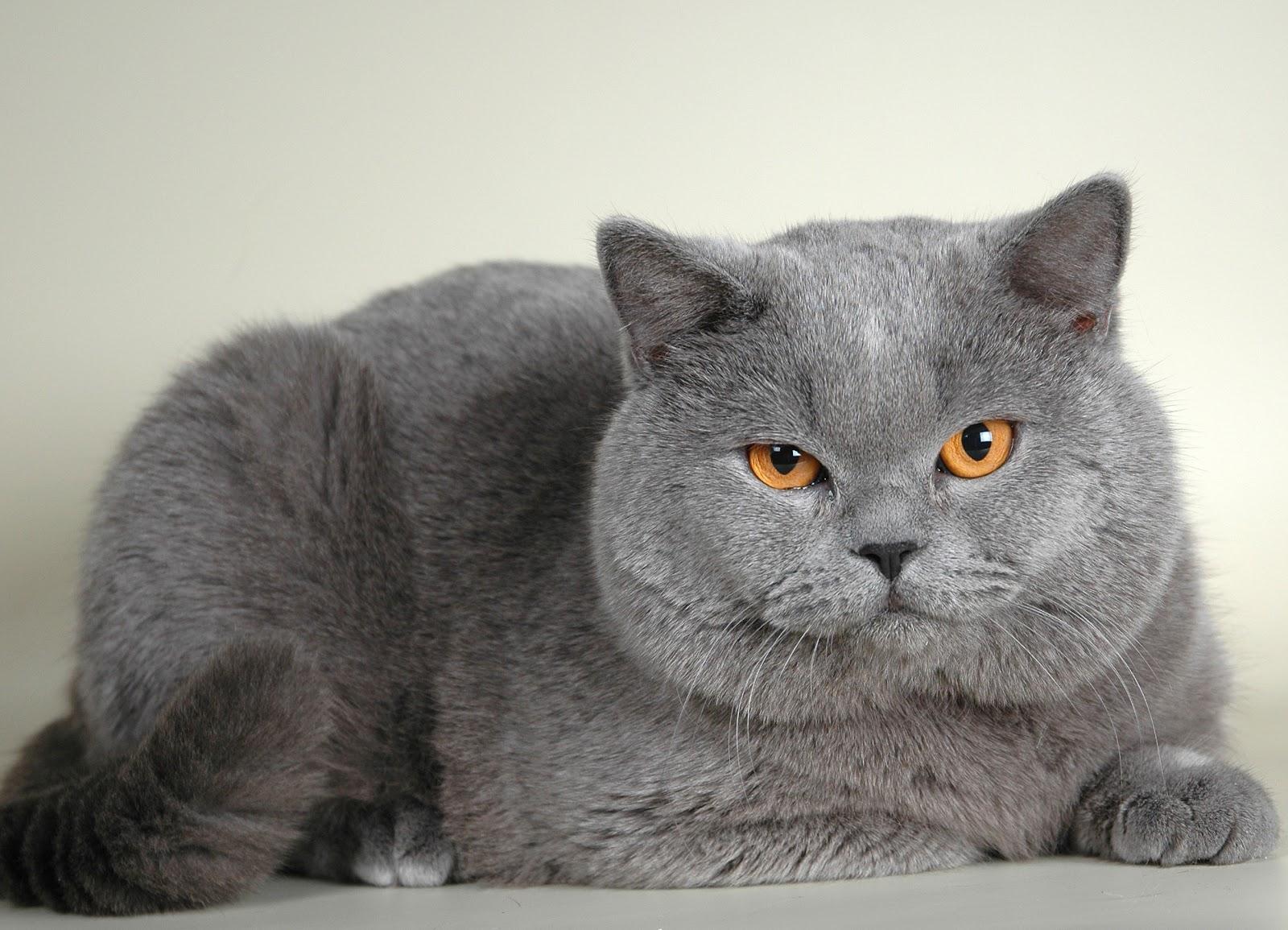 характер котов британцев