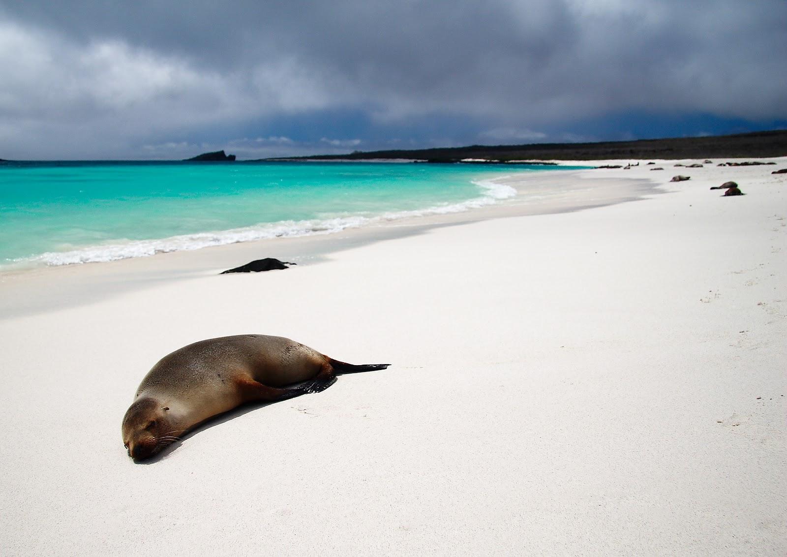 Gardner Bay on Espanola Island Galapagos sea lions on the white sand beach