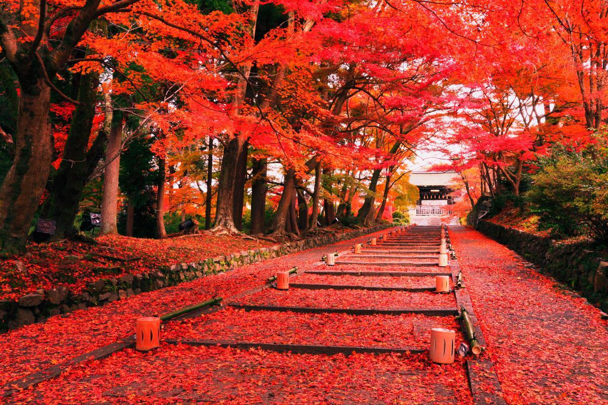 Mùa thu ở Nhật Bản nơi bạn phải choáng ngợp với những con đường lá phong đỏ rợp trời