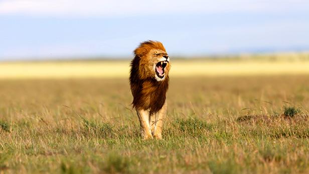 big_Lion_Maasai_Mara_Kenya.jpg