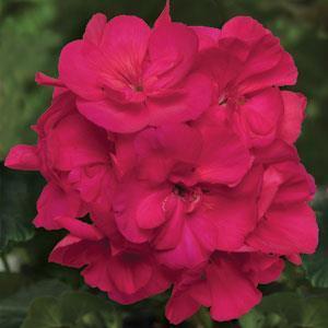 Sunrise XL Purple Rose
