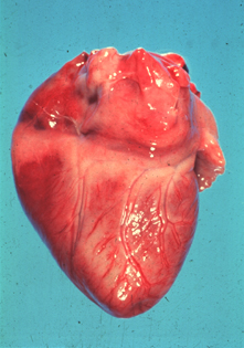 Heart from puppy which died of parvoviral myocarditis. Note the necrotic (light) areas in myocardium.