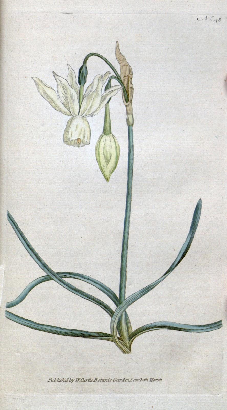 Narcissus_triandrus_Curtis.jpg